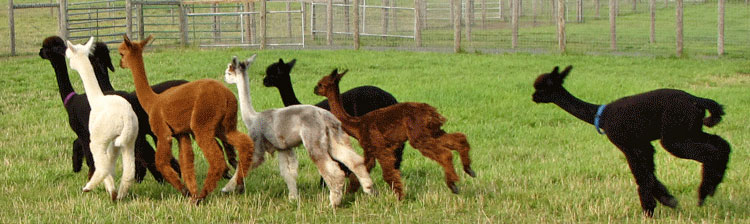 Abenaki Acres - alpaca farm in New Jersey