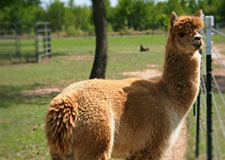 PB&J Ranch Alpacas - An alpaca farm in Lipan, TX