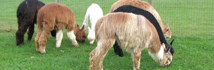 Wild Rose Suri Ranch - An alpaca farm in Maryland