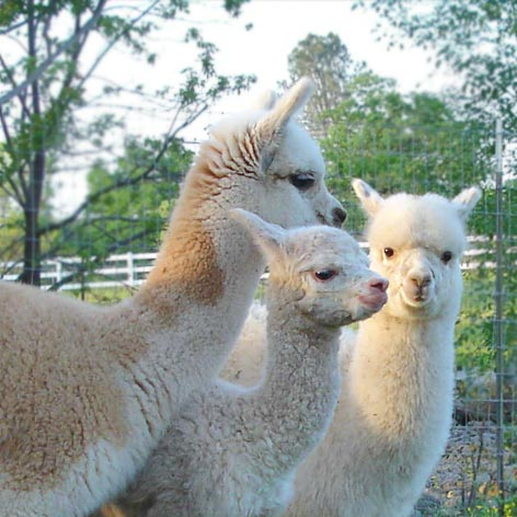Alpacas on a farm in California