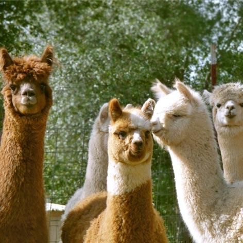 Alpaca farming - a great livestock investment
