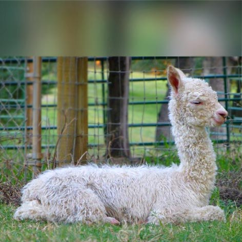 A baby alpaca - the alpaca lifestyle