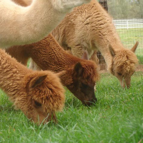 Alpaca breeding for profit