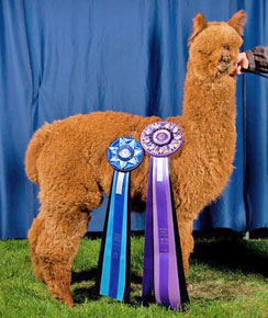 Aspen Alpaca Company - Elite Alpacas