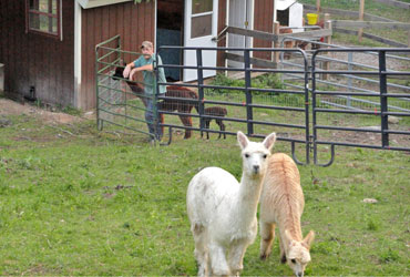 Owning alpacas is living the dream