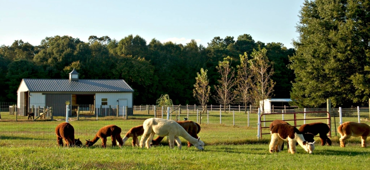 Alpaca farm in Preston, MD