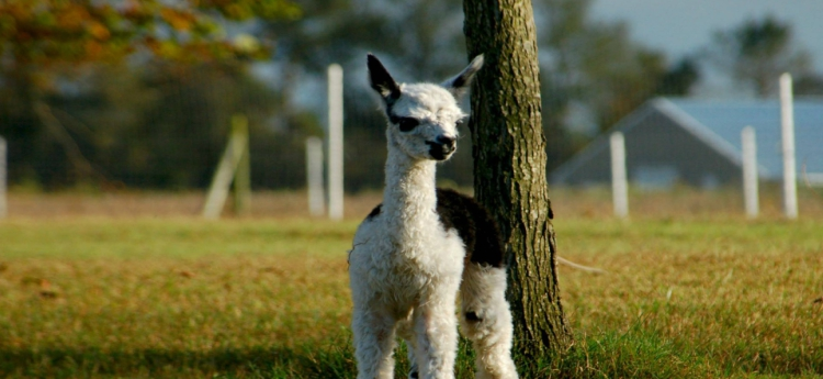 Alpaca adoption in Maryland