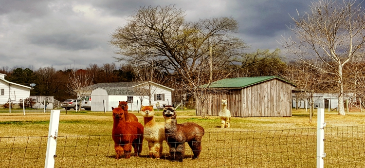 Alpaca therapy in Preston, Maryland