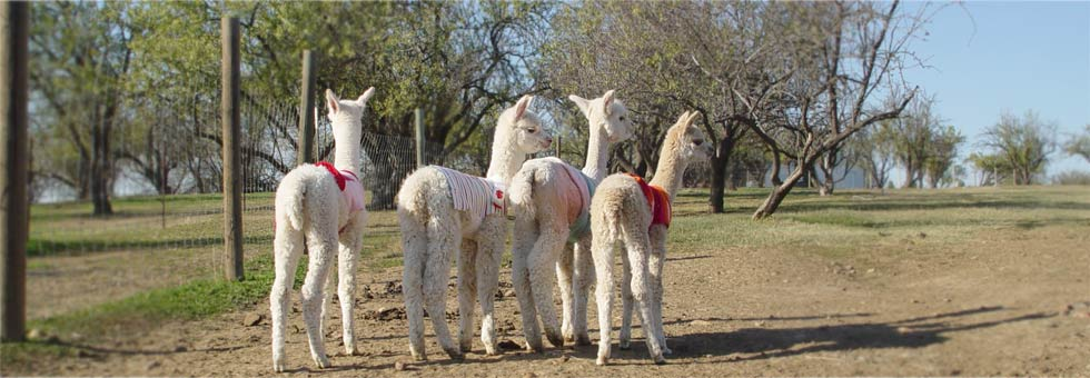 Calpaca - California Alpaca Breeders Association