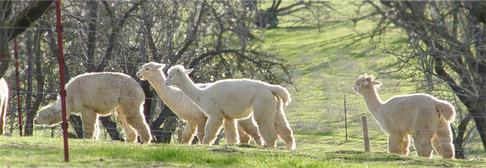 Alpacas on a California alpaca farm