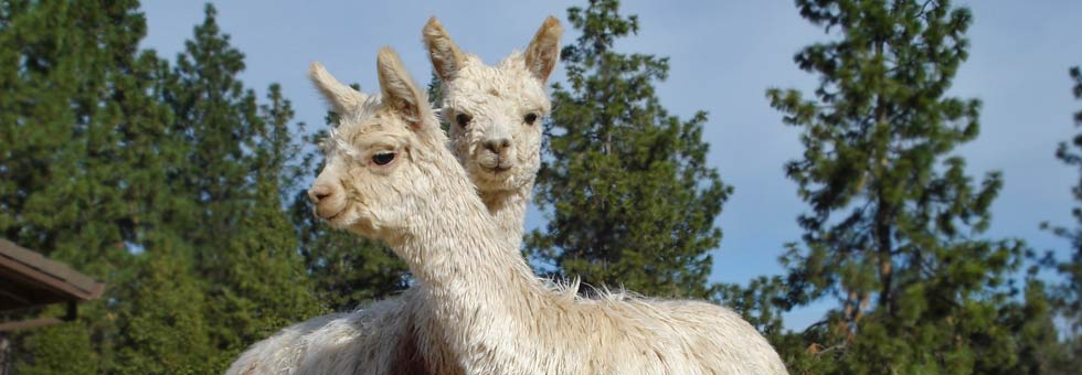 Alpacas for sale in California