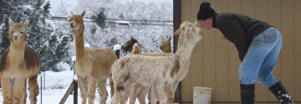 Alpacas are a great livestock investment