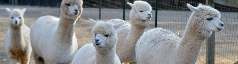 Alpacas for sale in North Carolina