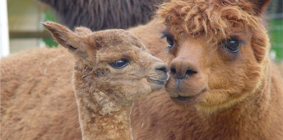 101 Alpacas Ranch, Salinas, California