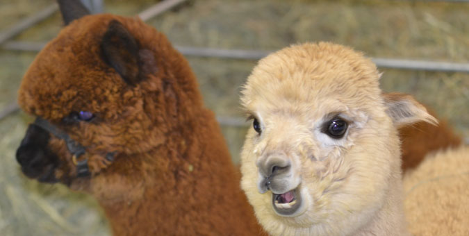 TxOLAN - Alpacas for sale in Texas, Oklahoma, Louisiana, Arkansas, and New Mexico
