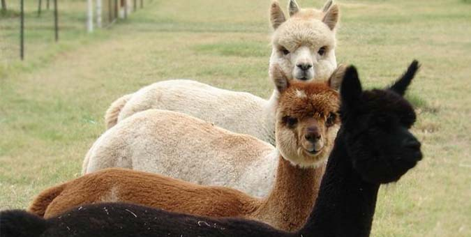 Alpaca farms in Arkansas