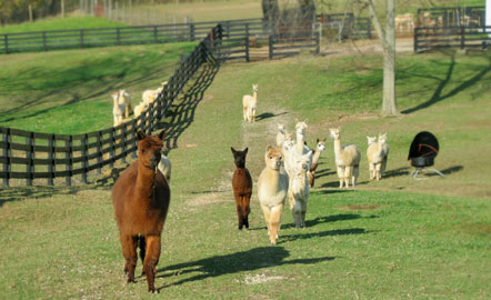 Kentucky alpaca clothing