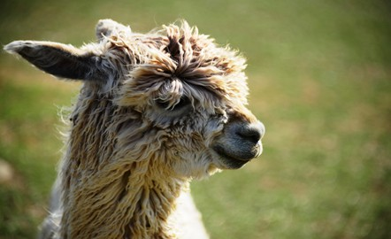Alpaca farming in Kentucky