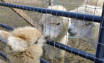 Kentucky alpaca farmer