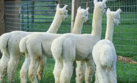 Alpaca farm in Kentucky
