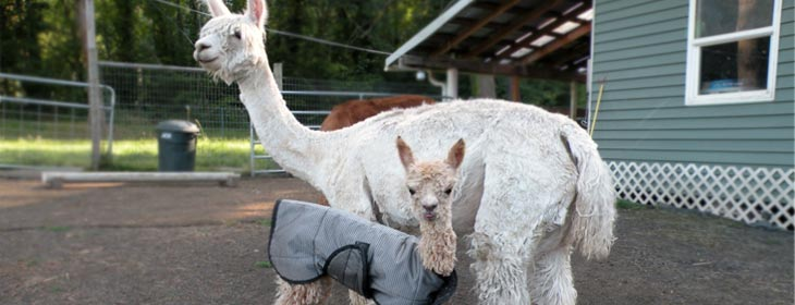 PNAA - Pacific Northwest Alpaca Association
