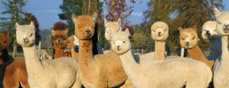 WA alpaca farms