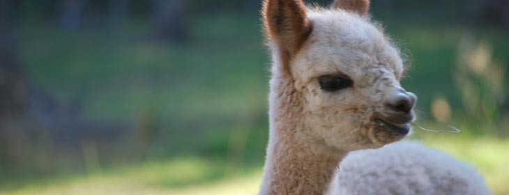 Alpaca farming in Pacific Northwest