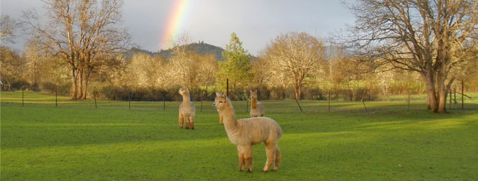 Alpacas in Oregon