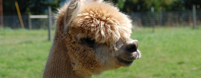 Alpacas for sale, Oregon, California