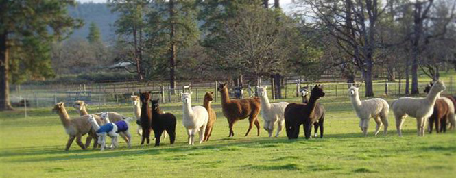 Jefferson State Alpaca Farming Ranching