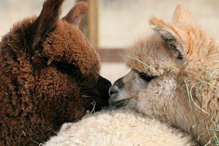 Paca This And Beyond - Alpacas