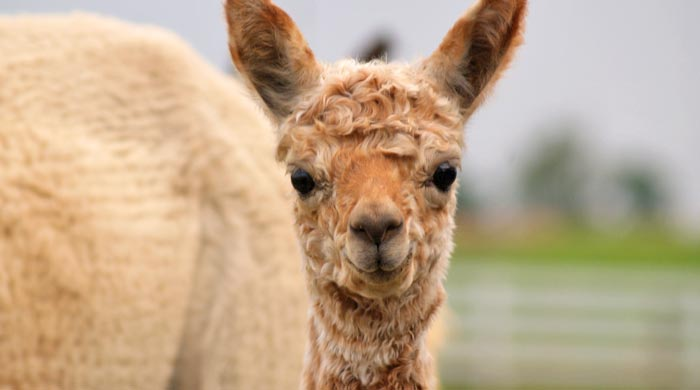 Alpaca clothing in Maryland