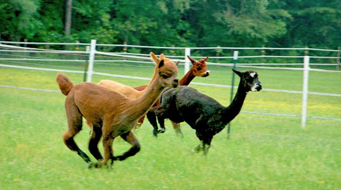 Alpacas for sale in Maryland