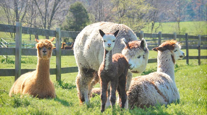 Alpaca lifestyle and ranching in Maryland
