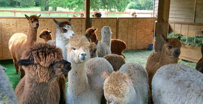 Alpacas in Washington state