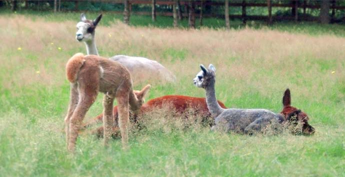 Northwest alpaca farming and ranching