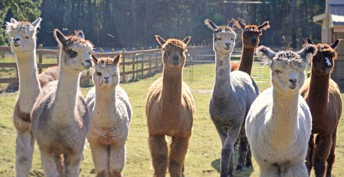 Alpaca investing in WA, OR, ID, MT