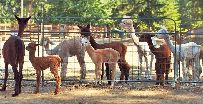 Alpaca products from farms in WA