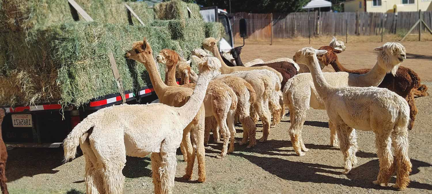 Alpacas of El Dorado, Somerset, California