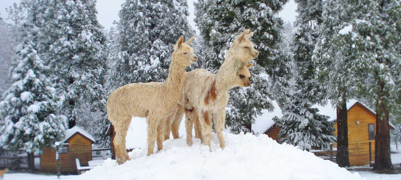 California alpaca farming