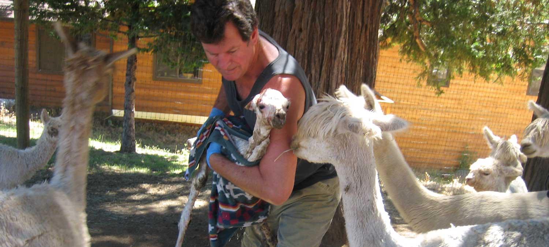 Alpacas for sale in CA